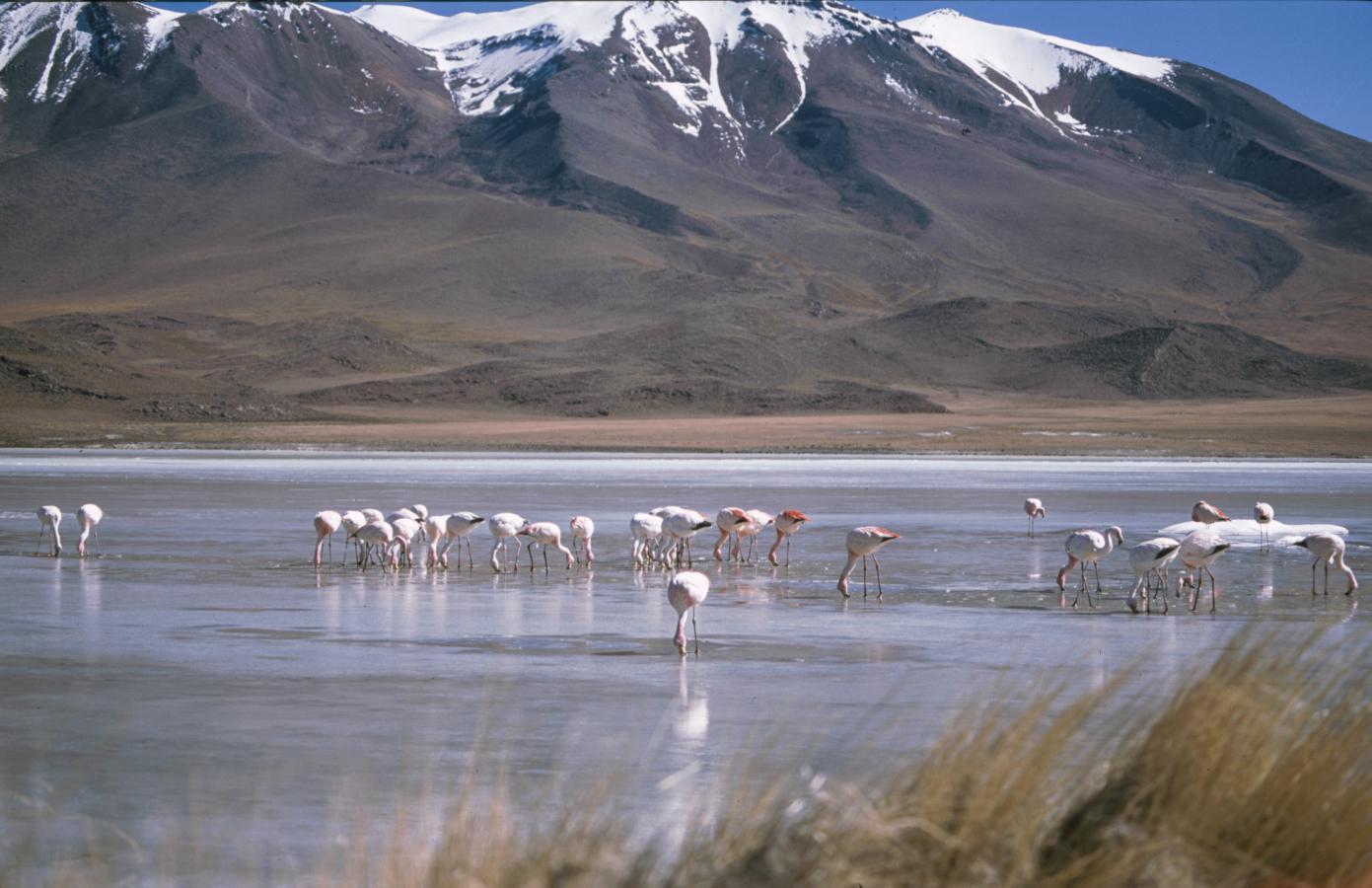 lama-glama-23-bolivia-2001