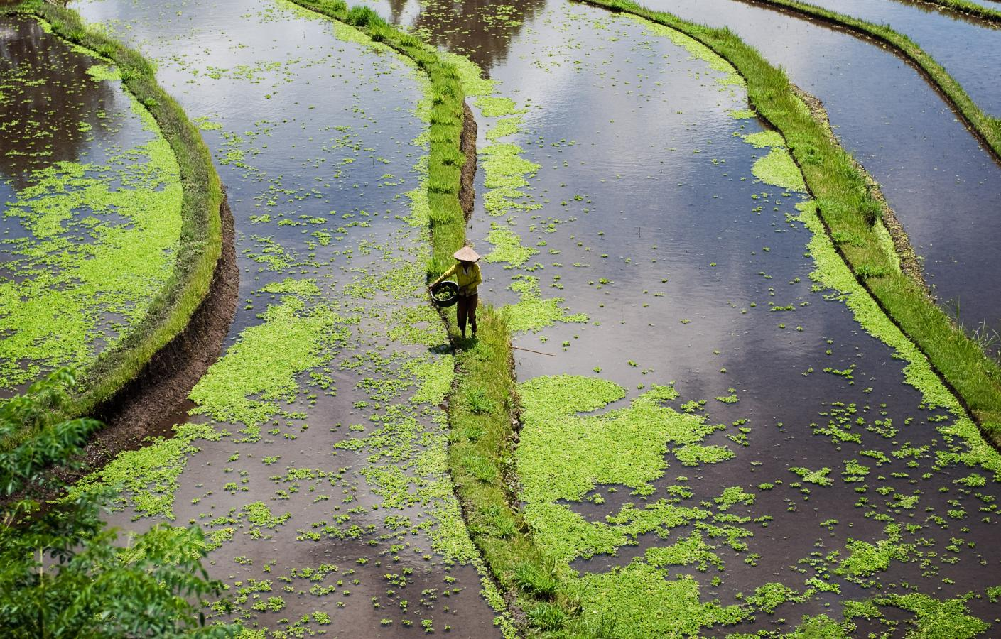 working-in-a-rice-paddy-field-around-amed-bali-2010